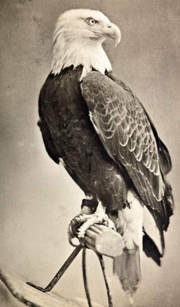 """Old Abe,"" American Eagle, Civil War mascot of Company C, Eighth Wisconsin Volunteer Infantry, circa 1876, zoomable image"
